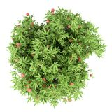 Δέντρο μάγκο με τα φρούτα μάγκο που απομονώνονται στο λευκό Τοπ όψη στοκ φωτογραφίες με δικαίωμα ελεύθερης χρήσης