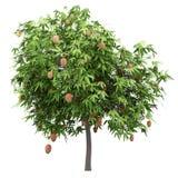Δέντρο μάγκο με τα φρούτα μάγκο που απομονώνονται στο λευκό στοκ εικόνα με δικαίωμα ελεύθερης χρήσης