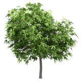 Δέντρο μάγκο που απομονώνεται στο λευκό στοκ φωτογραφίες