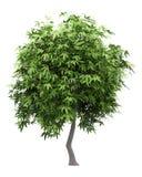Δέντρο μάγκο που απομονώνεται στο λευκό στοκ εικόνες με δικαίωμα ελεύθερης χρήσης