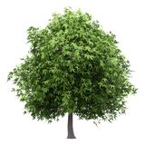 Δέντρο μάγκο που απομονώνεται στο λευκό στοκ φωτογραφία με δικαίωμα ελεύθερης χρήσης