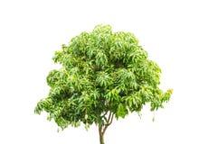 Δέντρο μάγκο Στοκ φωτογραφίες με δικαίωμα ελεύθερης χρήσης