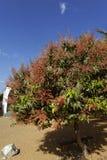 Δέντρο μάγκο Στοκ φωτογραφία με δικαίωμα ελεύθερης χρήσης