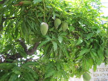 Δέντρο μάγκο Στοκ Εικόνες