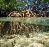 Δέντρο μαγγροβίων πέρα από και κάτω από την επιφάνεια νερού Στοκ Εικόνα