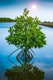 Δέντρο μαγγροβίων στον ήλιο Στοκ φωτογραφία με δικαίωμα ελεύθερης χρήσης