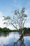 Δέντρο μαγγροβίων Στοκ Εικόνα