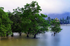 Δέντρο μαγγροβίων Στοκ Εικόνες