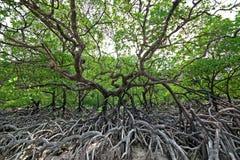 Δέντρο μαγγροβίων Στοκ Φωτογραφία