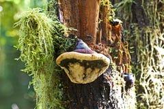 δέντρο μανιταριών polypore Στοκ φωτογραφία με δικαίωμα ελεύθερης χρήσης