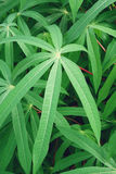 Δέντρο μανιόκων στοκ εικόνες