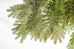 δέντρο μεταξιού φύλλων julibrissin albizia ακακιών durazz Στοκ Εικόνα