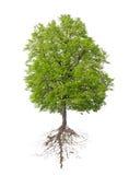 Δέντρο με μια ρίζα Στοκ φωτογραφίες με δικαίωμα ελεύθερης χρήσης