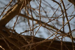Δέντρο με τα αγκάθια Στοκ Εικόνες