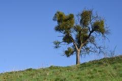 Δέντρο με τα γκι την άνοιξη Στοκ φωτογραφίες με δικαίωμα ελεύθερης χρήσης