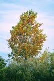 Δέντρο με τα κίτρινα και πορτοκαλιά φύλλα φθινοπώρου στοκ φωτογραφίες