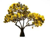 Δέντρο με τα κίτρινα λουλούδια που απομονώνονται στο άσπρο υπόβαθρο Στοκ εικόνα με δικαίωμα ελεύθερης χρήσης