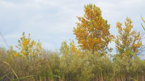 Δέντρο με τα κίτρινα φύλλα φθινοπώρου στην ακτή μιας μικρής λίμνης απόθεμα βίντεο