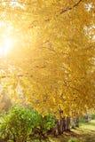 Δέντρο με τα κίτρινους φύλλα και τον ήλιο Στοκ Εικόνες