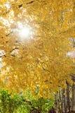 Δέντρο με τα κίτρινους φύλλα και τον ήλιο Στοκ Εικόνα