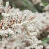 Δέντρο με τα λουλούδια του tamarisk Στοκ φωτογραφία με δικαίωμα ελεύθερης χρήσης