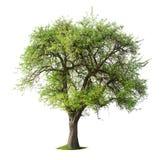 Δέντρο με τα πράσινα φύλλα στο χλοώδες μπάλωμα Στοκ Εικόνα