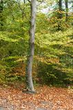 Δέντρο με τα φύλλα κισσών στο φθινοπωρινό δάσος στοκ εικόνες