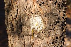 δέντρο με τη ρέοντας ρητίνη κοντά επάνω στοκ εικόνες
