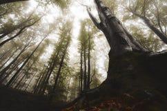 Δέντρο με τις γιγαντιαίες αποσυνθέσεις στο μυστήριο δάσος φαντασίας Στοκ εικόνα με δικαίωμα ελεύθερης χρήσης