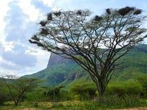 Δέντρο με τις φωλιές πουλιών. Βουνά. Αφρική, Κένυα στοκ εικόνες