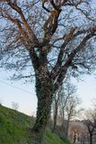 Δέντρο με τον κισσό το βράδυ Στοκ Εικόνα