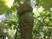 Δέντρο με τους κλάδους που μοιάζει με τους κόμβους στοκ φωτογραφίες