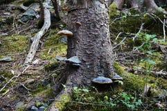 Δέντρο με τους μαύρος-κίτρινους μύκητες υποστηριγμάτων Στοκ Εικόνες