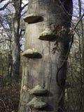 Δέντρο με τους μύκητες Στοκ Φωτογραφίες