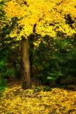 Δέντρο με το κίτρινο φύλλωμα πτώσης στον κήπο Kubota Στοκ εικόνες με δικαίωμα ελεύθερης χρήσης