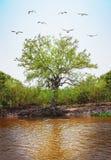 Δέντρο με το πέταγμα τσικνιάδων και ρίζες από το έδαφος από τον ποταμό Στοκ Φωτογραφίες