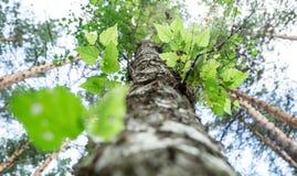 Δέντρο με το πράσινο υπόβαθρο κατώτατης άποψης φύλλων Στοκ εικόνες με δικαίωμα ελεύθερης χρήσης