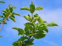 δέντρο μηλιάς Στοκ εικόνα με δικαίωμα ελεύθερης χρήσης