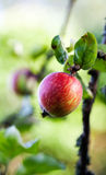 Δέντρο μηλιάς στοκ φωτογραφίες με δικαίωμα ελεύθερης χρήσης