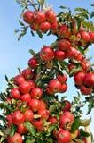δέντρο μηλιών Στοκ φωτογραφίες με δικαίωμα ελεύθερης χρήσης