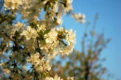 Δέντρο μηλιάς ανθών Στοκ Φωτογραφία