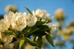 Δέντρο μηλιάς ανθών Στοκ φωτογραφία με δικαίωμα ελεύθερης χρήσης