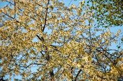 Δέντρο μηλιάς ανθών Στοκ εικόνες με δικαίωμα ελεύθερης χρήσης