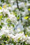 Δέντρο μηλιάς καβουριών στην άνθιση Στοκ Εικόνες