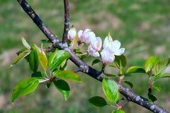Δέντρο μηλιάς κλάδων με τα λουλούδια Στοκ Φωτογραφία