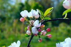 Δέντρο μηλιάς κλάδων με τα λουλούδια Στοκ εικόνα με δικαίωμα ελεύθερης χρήσης