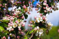 Δέντρο μηλιάς κλάδων με τα λουλούδια Στοκ Εικόνες