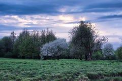 Δέντρο μηλιάς λουλουδιών στο ηλιοβασίλεμα τομέων Στοκ Εικόνα