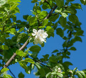 Δέντρο μηλιάς λουλουδιών Στοκ εικόνες με δικαίωμα ελεύθερης χρήσης