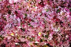 Δέντρο μηλιάς παραδείσου που ανθίζει στο ροζ Στοκ φωτογραφίες με δικαίωμα ελεύθερης χρήσης
